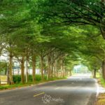 嘉義新港|微笑大道|小葉欖仁樹大道